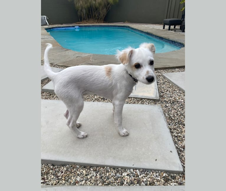 Photo of Tahoe, a Chihuahua, Cocker Spaniel, Poodle (Small), German Shepherd Dog, and Mixed mix in Los Angeles, California, USA