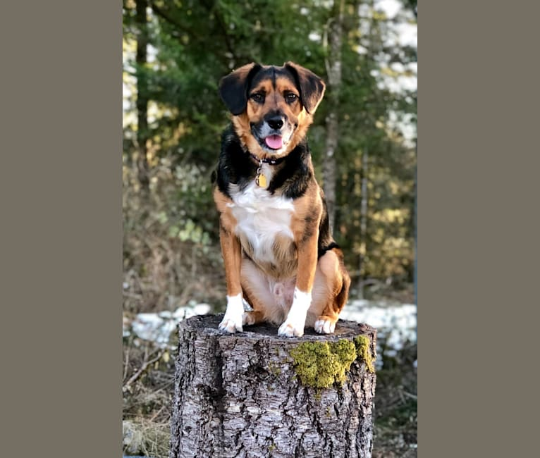 Photo of Bentley, a Beagle, Chow Chow, Labrador Retriever, Australian Cattle Dog, German Shepherd Dog, and Mixed mix in Washington, USA