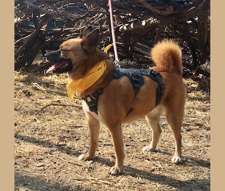 Photo of Muna, a Japanese and Korean Village Dog  in Busan, Busan, South Korea