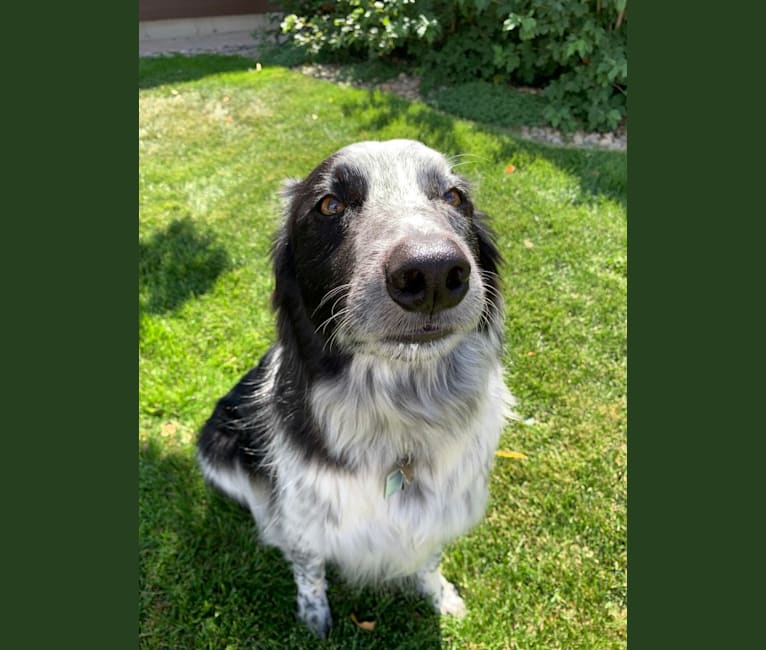Photo of Kricket, a Border Collie  in Wexford Court, Charles Town, West Virginia, USA