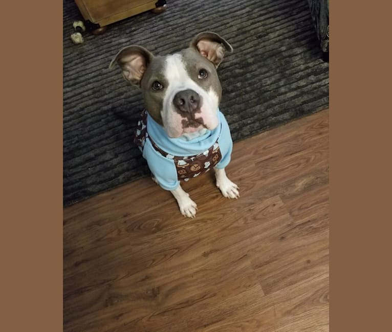 Photo of Hambone, an American Bully, American Pit Bull Terrier, and American Staffordshire Terrier mix in Houston, Texas, USA