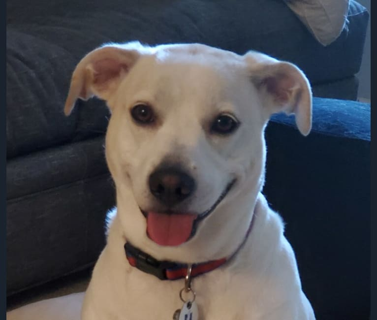 Photo of Abby, an Australian Shepherd, American Pit Bull Terrier, Rat Terrier, and Mixed mix in Raleigh, North Carolina, USA