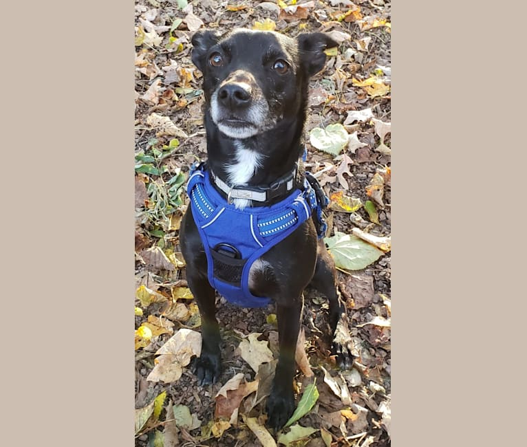 Photo of PJ, a Russell-type Terrier, Rat Terrier, American Pit Bull Terrier, Chihuahua, and Mixed mix in Chaska, Minnesota, USA