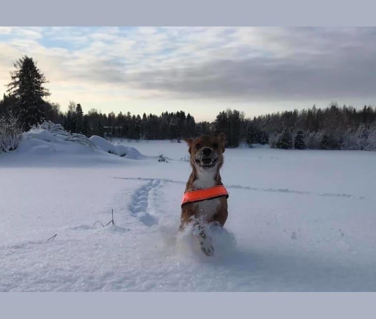 Photo of Ässä (Sirius), an Eastern European Village Dog and Russell-type Terrier mix in Firá, Kreikka