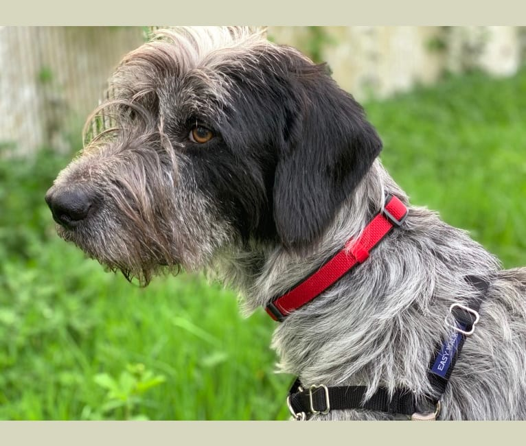 Photo of Duke, a German Wirehaired Pointer, Doberman Pinscher, and Catahoula Leopard Dog mix in Hawaiian Humane Society, Waialae Avenue, Honolulu, HI, USA