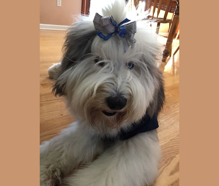 Photo of Winston, an Old English Sheepdog  in Puyallup, WA, USA