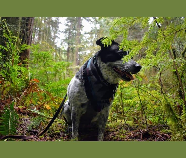 Photo of luna, an American Pit Bull Terrier, Australian Cattle Dog, German Shepherd Dog, Labrador Retriever, and Mixed mix in Hawaii, USA