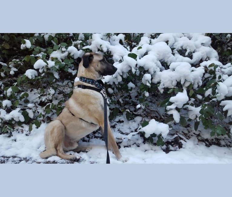 Photo of Sıçan, an Anatolian Shepherd Dog  in Gardiner, WA, USA