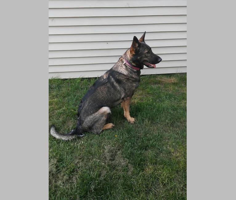 Photo of KEREN, a German Shepherd Dog  in Idaho, USA