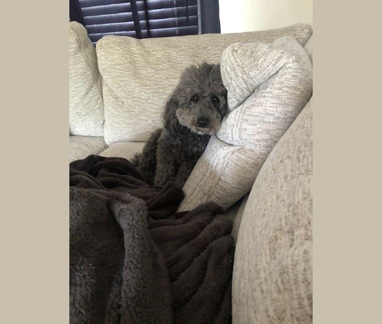 Photo of Poncho, a Poodle (Small)  in Miami, FL, USA