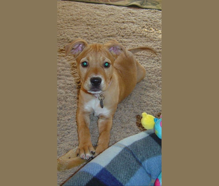 Photo of Dana, an American Pit Bull Terrier, Chow Chow, and Mixed mix in Arizona, USA