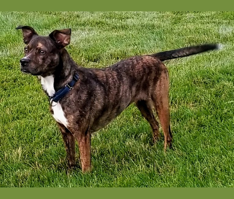 Photo of Carmela, a Boston Terrier, Mountain Cur, American Pit Bull Terrier, and Mixed mix in Tennessee, USA