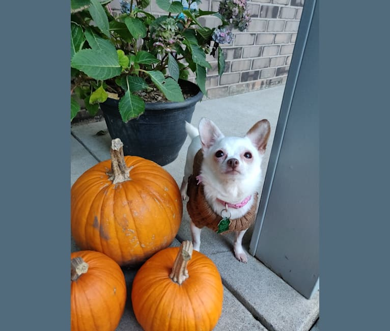 Photo of Hannah Joy, a Chihuahua, Papillon, and Poodle (Small) mix in Minnesota, USA
