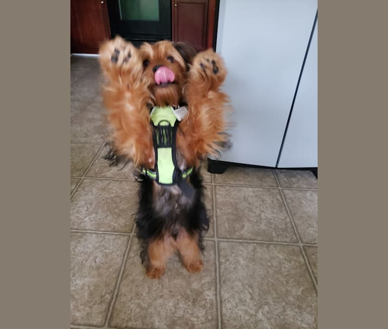Photo of Chewey, a Yorkshire Terrier  in Virginia, USA