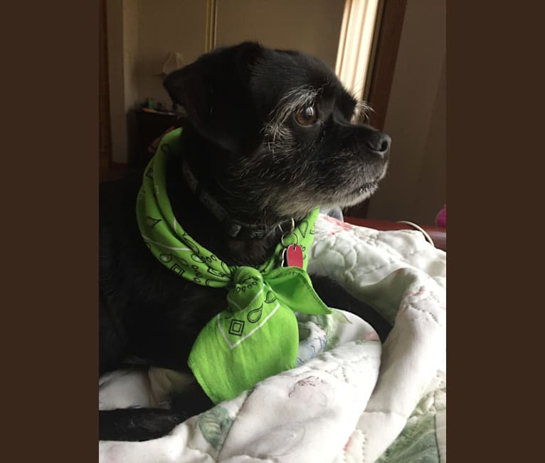 Photo of Fuu, a Pug, Yorkshire Terrier, Biewer Terrier, and Beagle mix in Louisville, Kentucky, USA