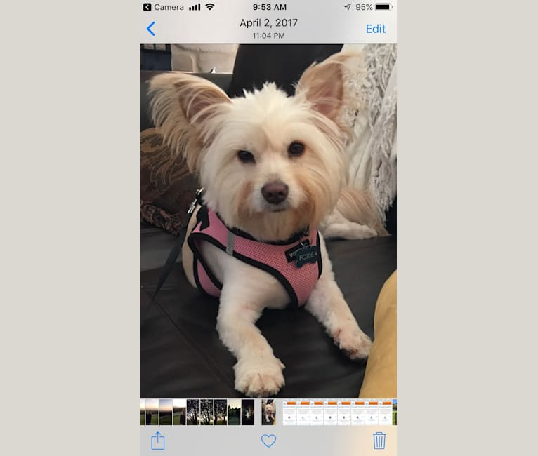 Photo of Foxie, a Pomeranian, Chow Chow, Chihuahua, and Mixed mix in Round Rock, Texas, USA