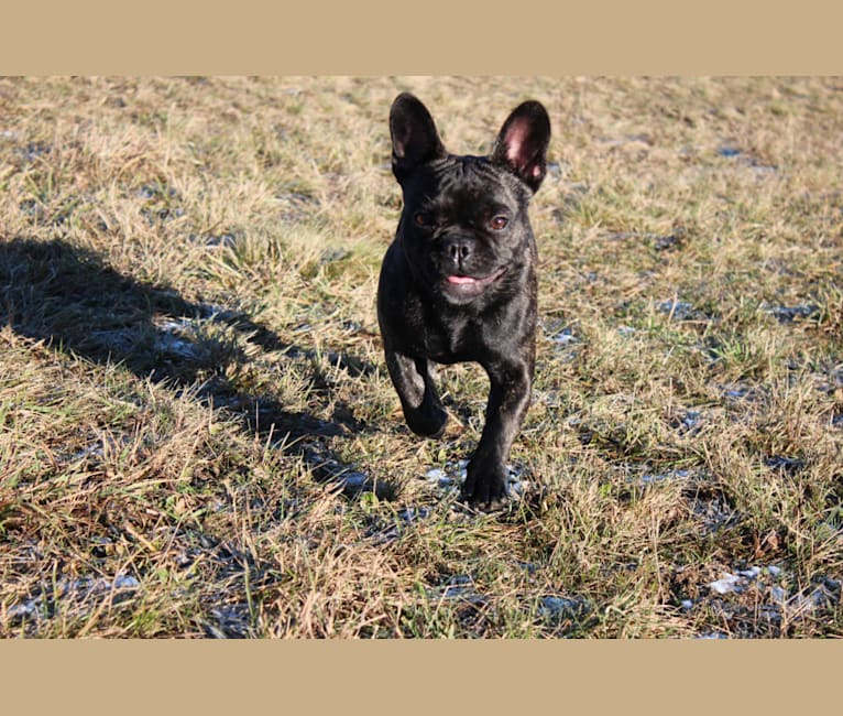 Photo of Lilly, a French Bulldog