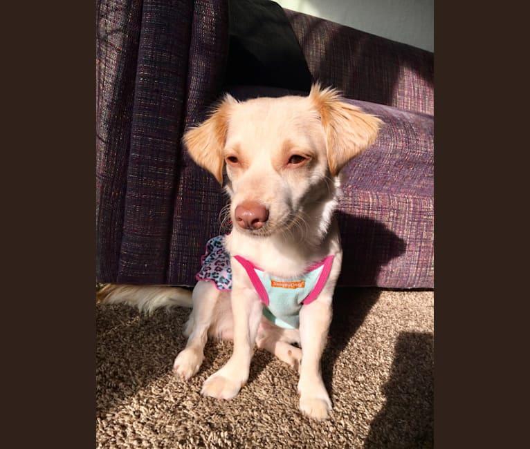 Photo of Mia, a Chihuahua, Poodle (Small), Shih Tzu, and Mixed mix in Fresno, California, USA