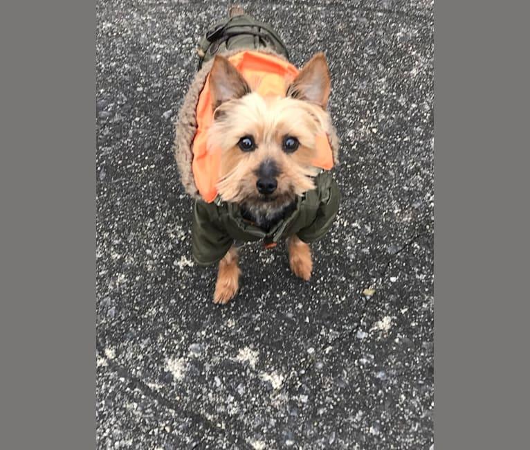 Photo of Diesel, a Silky Terrier