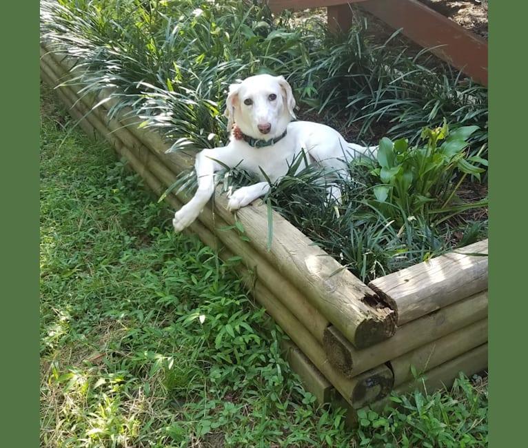 Photo of Pansy, an American Foxhound  in North Carolina, USA