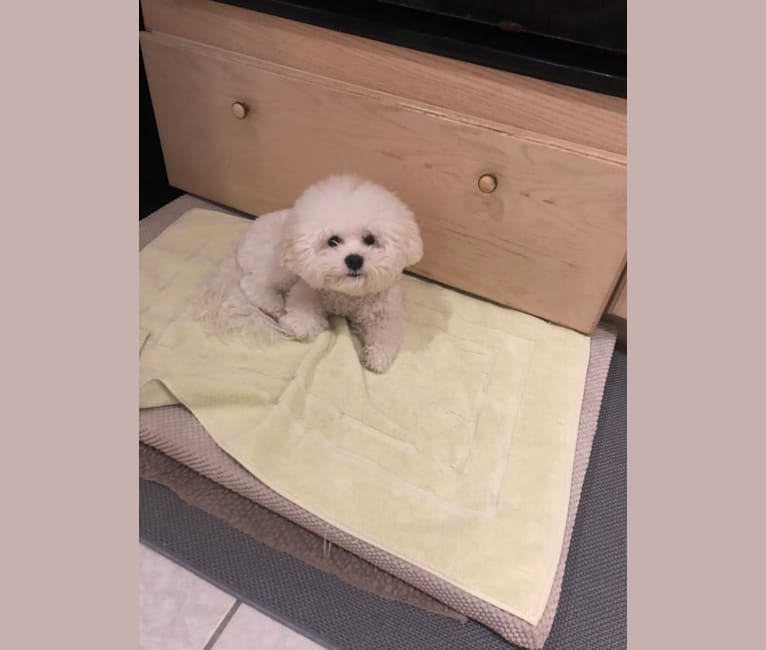 Photo of Minnie, a Bichon Frise  in Vancouver, British Columbia, Canada