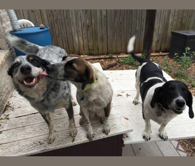 Photo of Esther, a Basset Hound, Weimaraner, and Australian Shepherd mix in Austin, Texas, USA