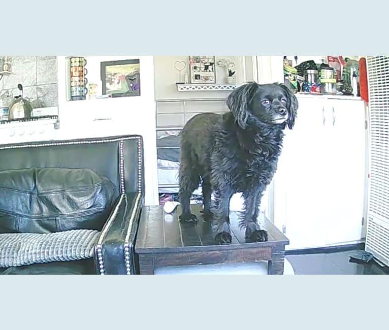 Photo of Charlie, a Chihuahua, Cocker Spaniel, and Miniature Pinscher mix in Costa Mesa, California, USA