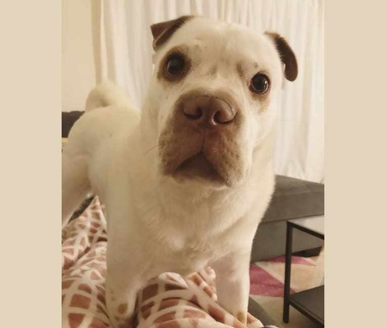 Photo of Boris, a Chinese Shar-Pei and Pug mix in Eatontown, New Jersey, USA