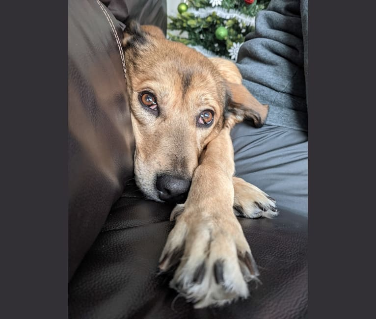 Photo of Belle, a Labrador Retriever, Chesapeake Bay Retriever, American Pit Bull Terrier, and Siberian Husky mix in Indianola, Washington, USA