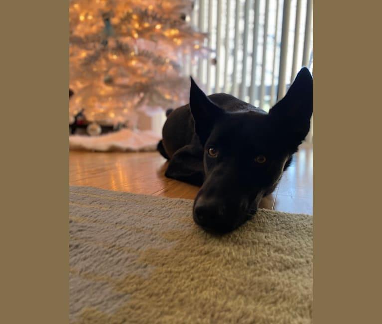 Photo of Pongo, a Siberian Husky and German Shepherd Dog mix in Illinois, USA
