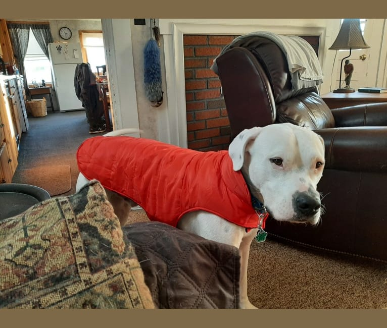 Photo of KINGSTER, a Dogo Argentino  in North Carolina, USA