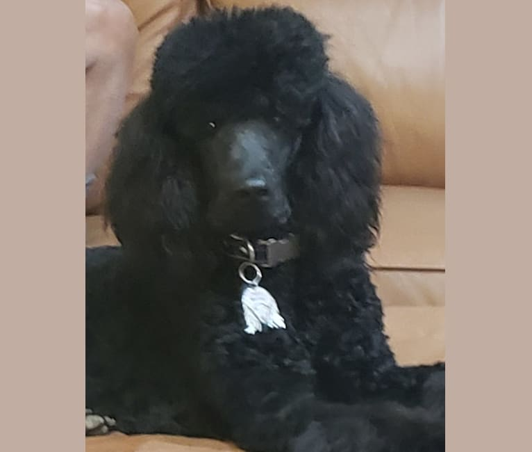 Photo of Ziggy Marley, a Poodle (Standard)  in Ontario, CA, USA