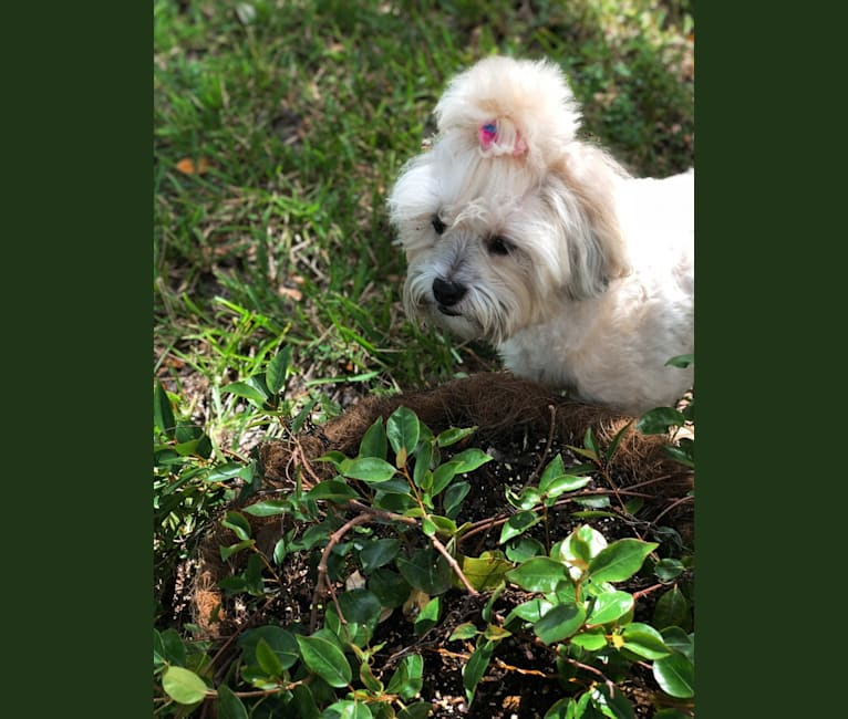 Photo of Amorcita Love Govea Pineda, a Shih Tzu, Poodle (Small), and Maltese mix in 纽约, USA