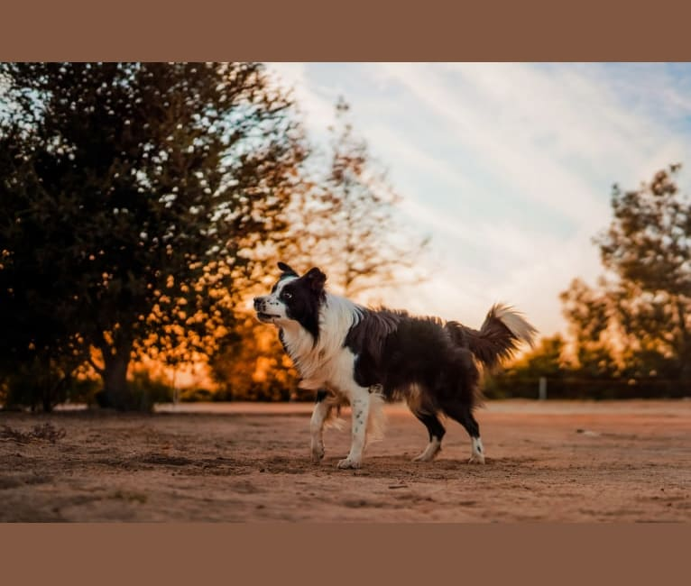 Photo of Donut, a Border Collie  in Minneapolis, MN, USA