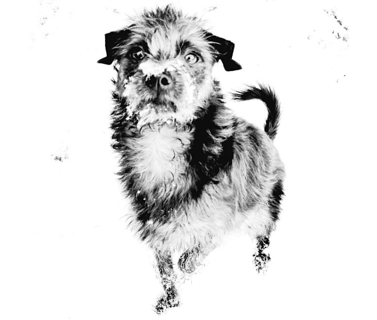 Photo of Elwood, a Chihuahua, Pomeranian, Miniature Schnauzer, and Mixed mix