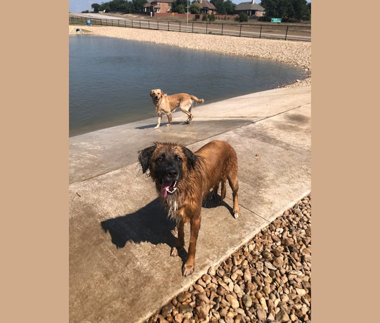 Photo of Bodhi, a German Shepherd Dog, Boxer, American Pit Bull Terrier, and Chow Chow mix in Waco, Texas, USA