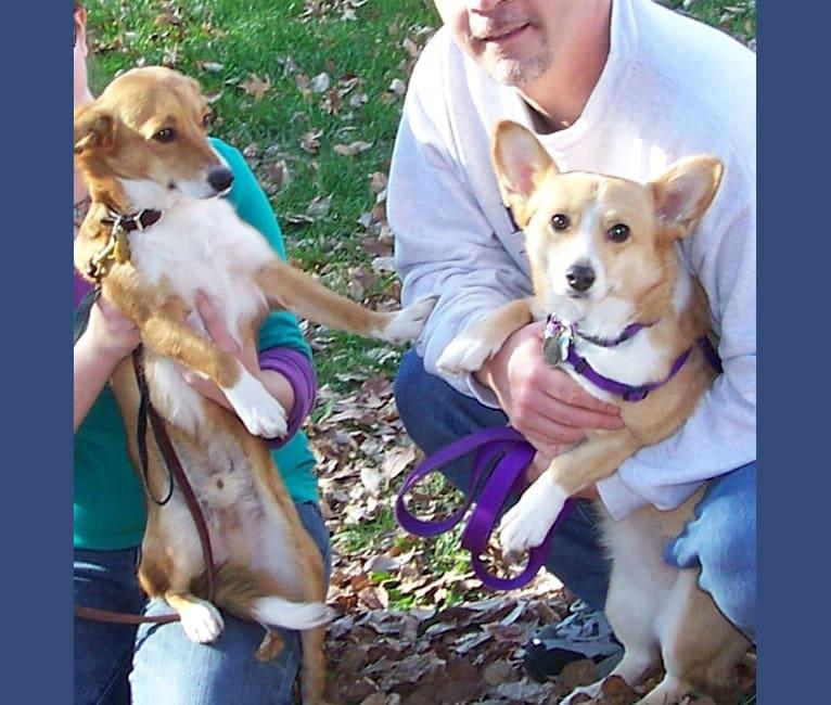 Photo of Logan, a Pembroke Welsh Corgi, Chihuahua, and Mixed mix in Ladue, Missouri, USA