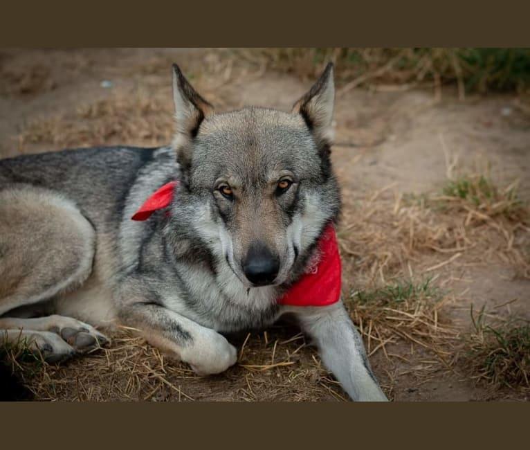 Photo of Mavis, GrandLine WolfDog, a   in Landau, Rhineland-Palatinate, Germany