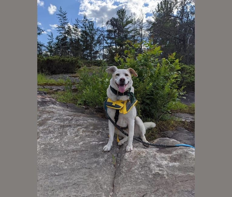 Photo of Jolene, a Siberian Husky, Chinese Shar-Pei, and Basset Hound mix in North Bay, Ontario, Canada