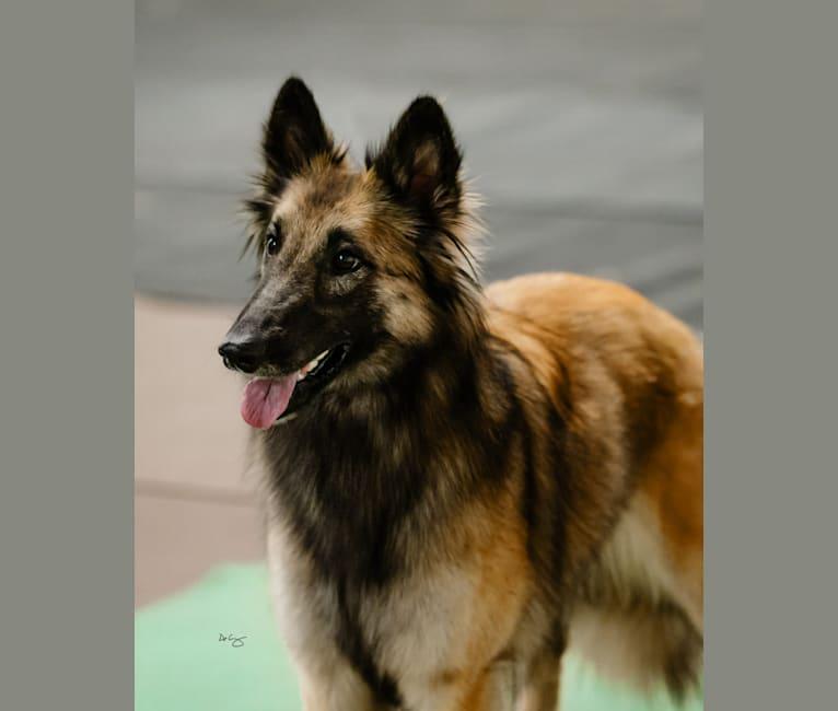 Photo of Sadie, a Belgian Shepherd  in Paw Paw, Illinois, USA