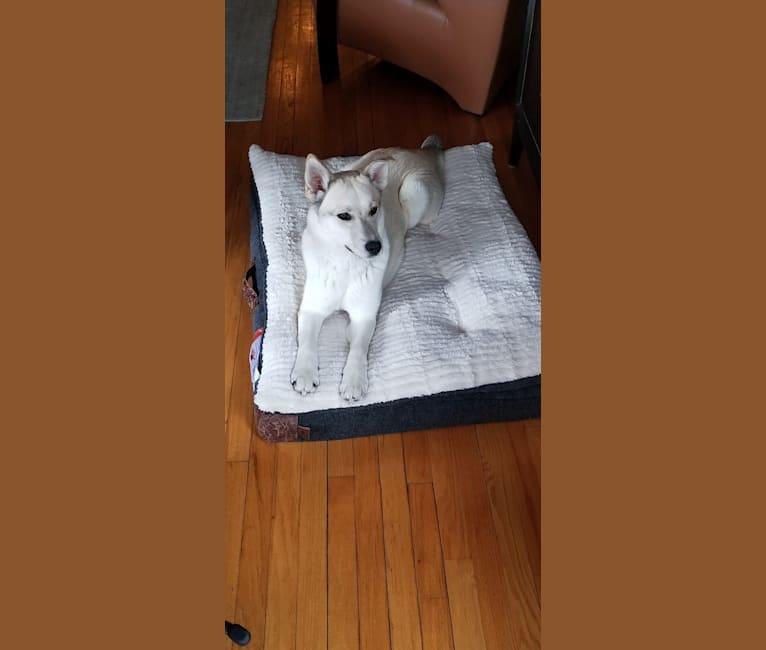 Photo of Sansa, a Siberian Husky, Labrador Retriever, and Golden Retriever mix in Alabama, USA