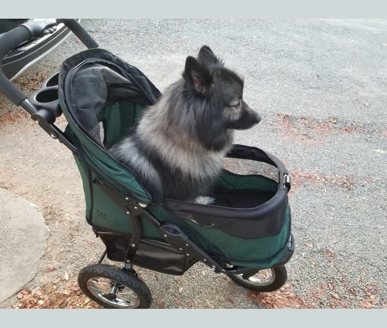 Photo of Scruffy, a Keeshond  in Oklahoma, USA