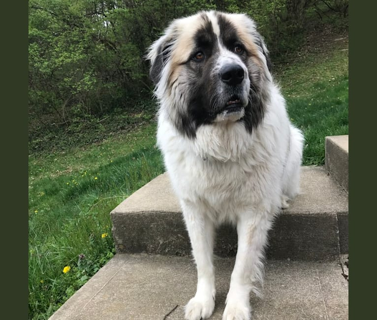 Photo of Bosco, a Great Pyrenees and Saint Bernard mix in Kentucky, USA