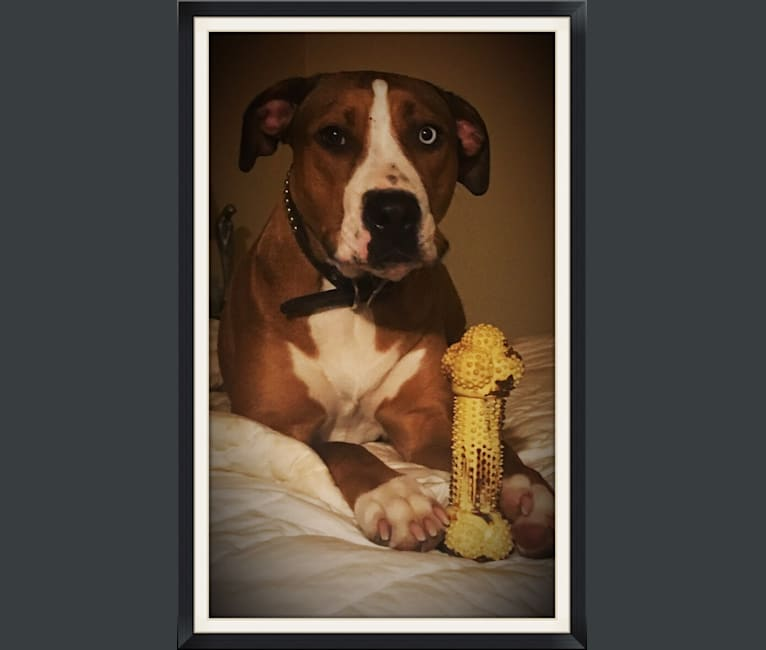 Photo of Frank, an American Pit Bull Terrier, Rottweiler, Boxer, and German Shepherd Dog mix in Tulsa, Oklahoma, USA
