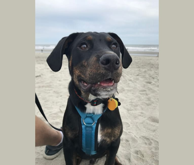 Photo of Caspian, a Rottweiler and American Pit Bull Terrier mix in Charleston, South Carolina, USA