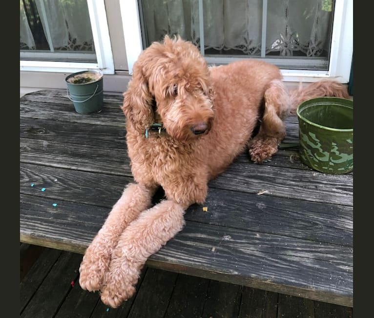 Photo of Winnie, a Goldendoodle  in Holtwood, PA, USA