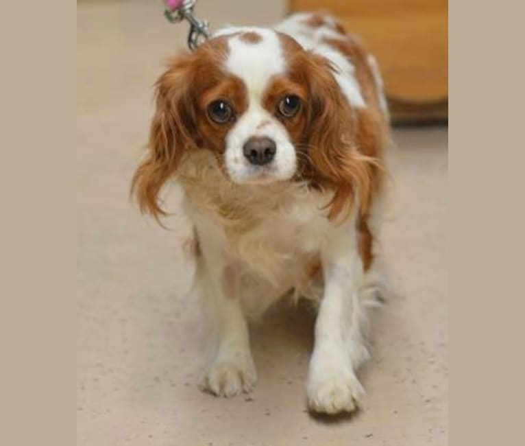 Photo of Dottie, a Cavalier King Charles Spaniel  in Manitowoc, WI, USA