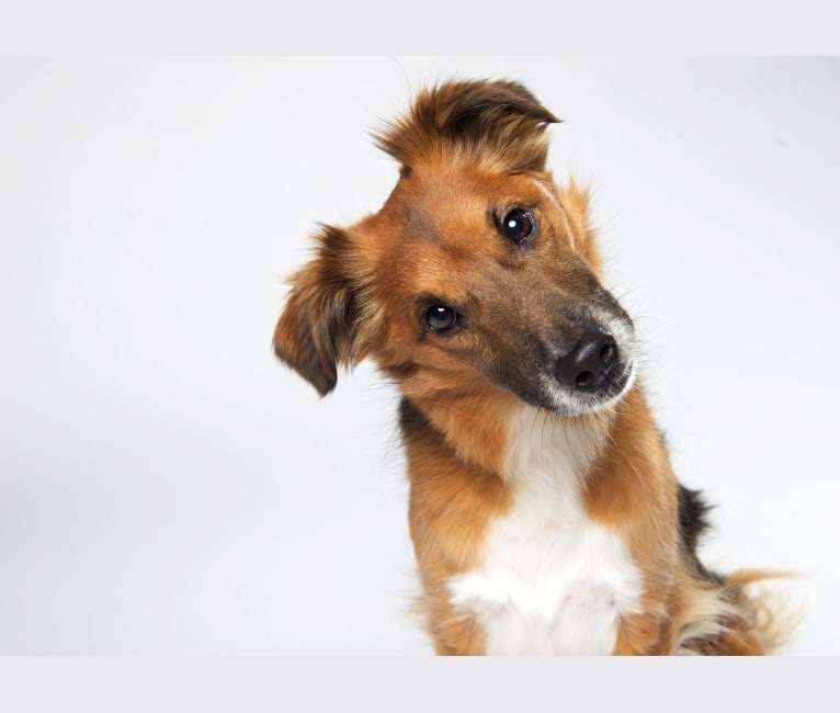 Photo of Aiden, a Russell-type Terrier and Beagle mix in Indiana, USA
