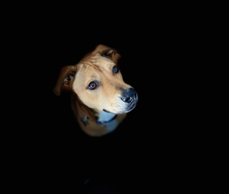 Photo of Everest, an American Pit Bull Terrier, Chow Chow, and Mixed mix in Texas, USA