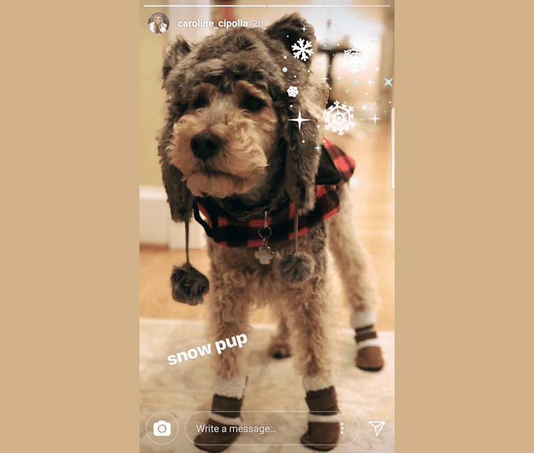 Photo of Riley, a Welsh Terrier  in Tennessee, USA
